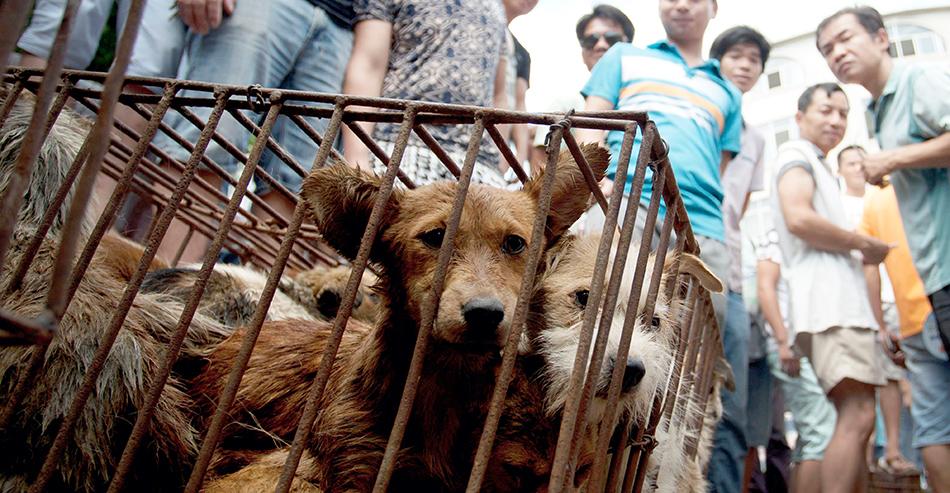 Cani vittime del Festival di Yulin