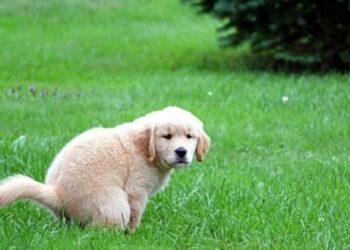 Cucciolo di cane che fa i propri bisogni