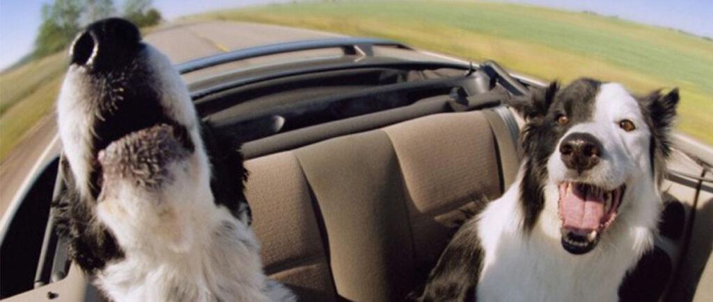 Due cani in macchina