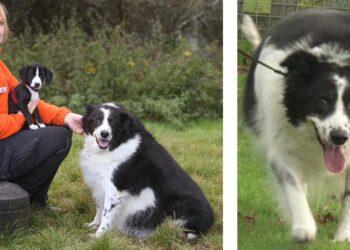 La storia di Bopper, il cane più grasso d'Inghilterra