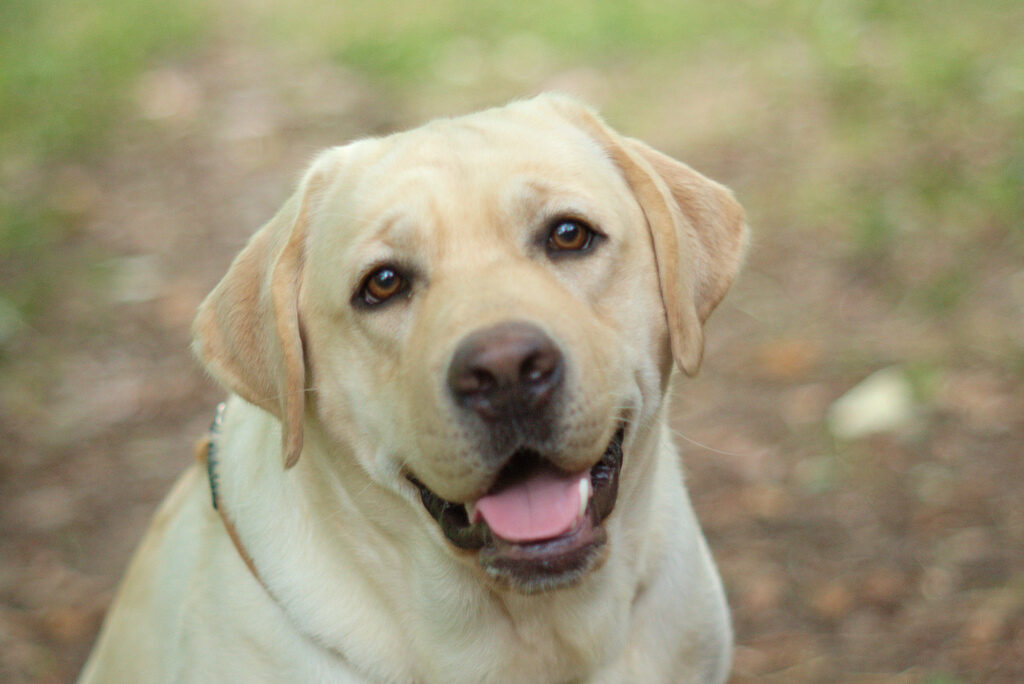 Labrador Gialli