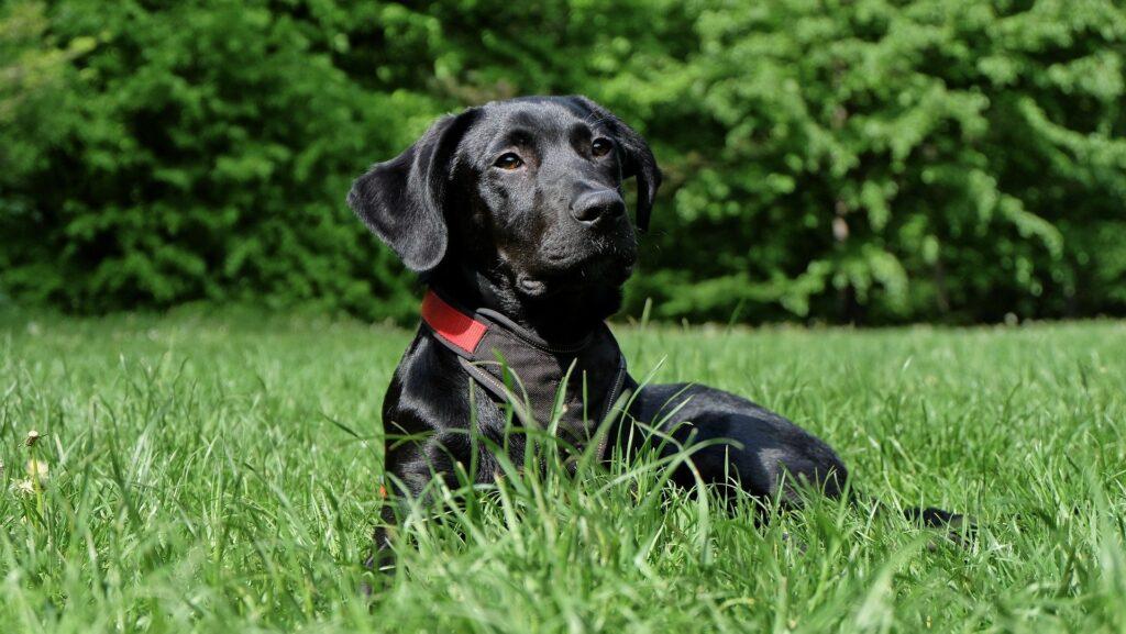 Labrador nero in un prato