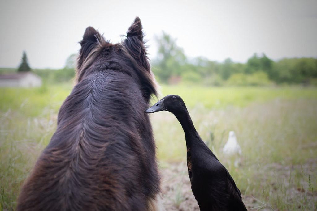L'amicizia tra un cane e un'anatra