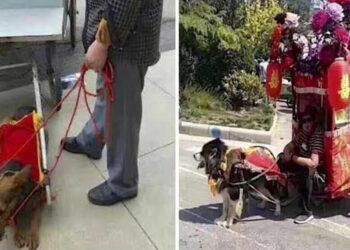 Taxi Dog con i cani che trainano