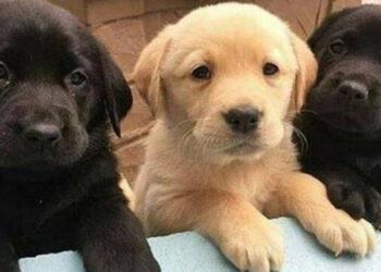 Tre cuccioli di labrador