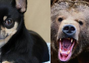 Un Chihuahua e un orso