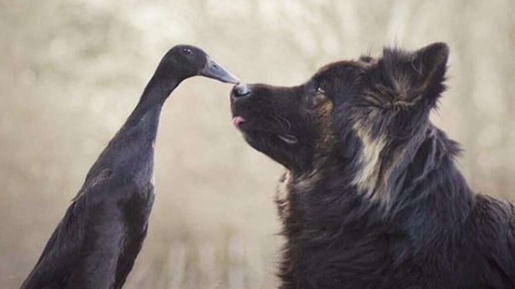 Un cane Pastore Tedesco e un'anatra