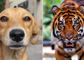 Un cane e una tigre