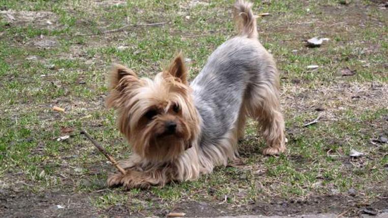 Un cane yorkshire con un bastoncino tra le zampe