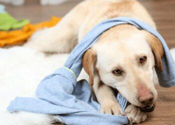 cane mangia biancheria intima