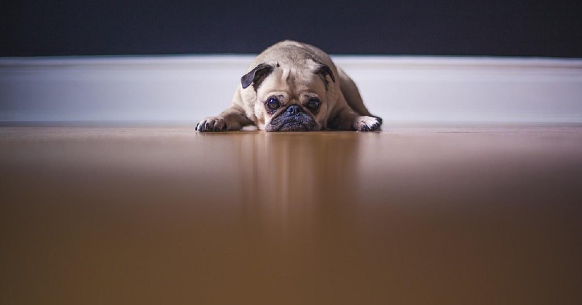 cane triste a terra