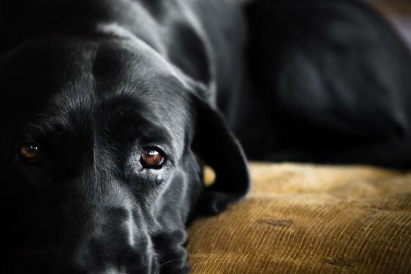 cane nero e grosso