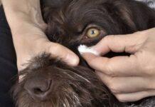 un cane sta fermo mentre gli vengono puliti gli occhi