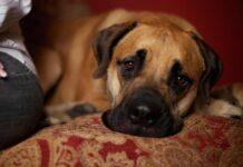 cane abbattuto sul divano