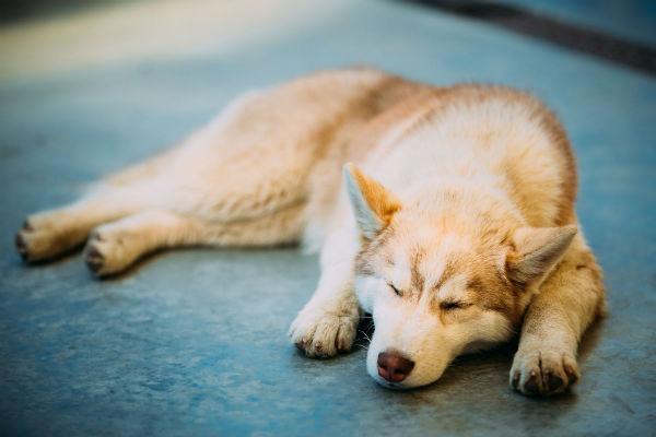 Anemia e sistema immunitario del cane: bisogna preoccuparsi?