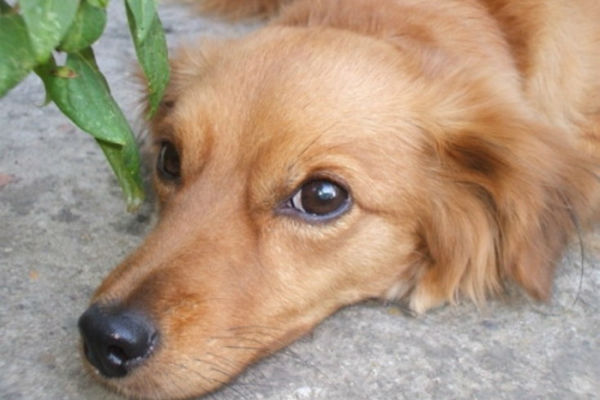 cane biondo