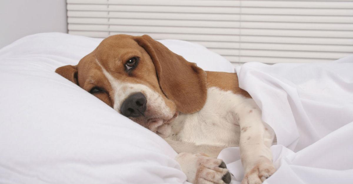dilatazione gastrica del cane