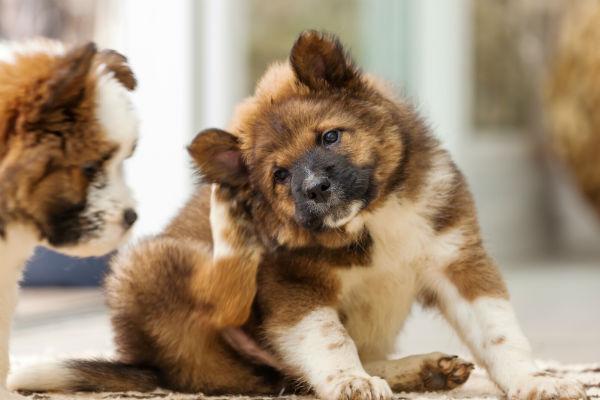 Bartonella canina: cause, sintomi, cura