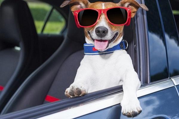 cane al volante