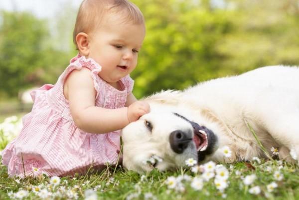 un labrador viene accarezzato da una bimba