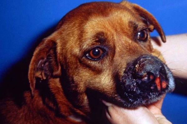 cane con fungo nel naso