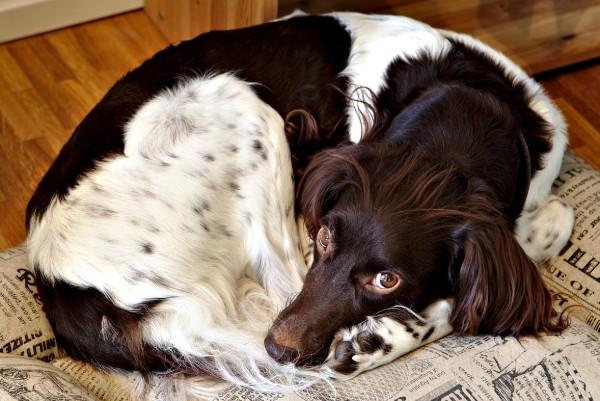 un cane nella sua cuccia annoiato