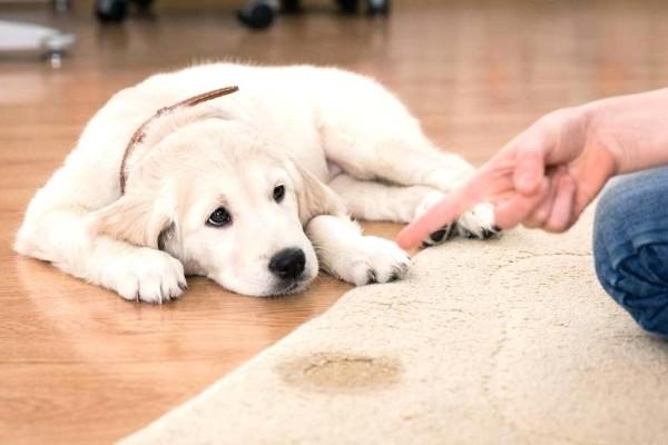 un cane ha fatto i bisogni sul tappeto