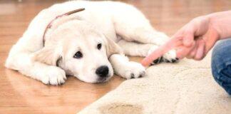 un cane fa la pipì sul tappeto