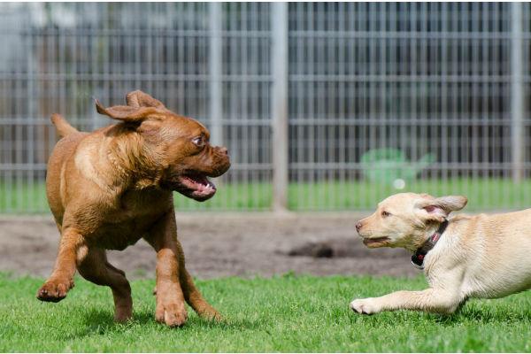 Cane che bullizza gli altri cani: che fare?