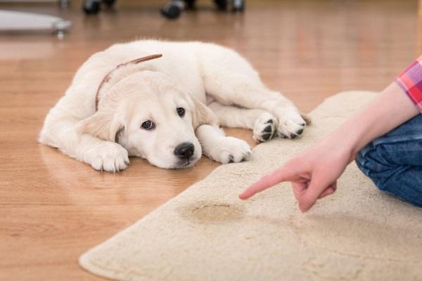cane che ha fatto la pipì sul tappeto