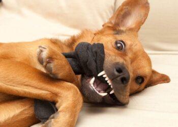 un cane mordicchia un calzino