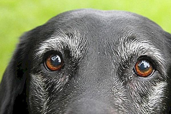 sguardo cane