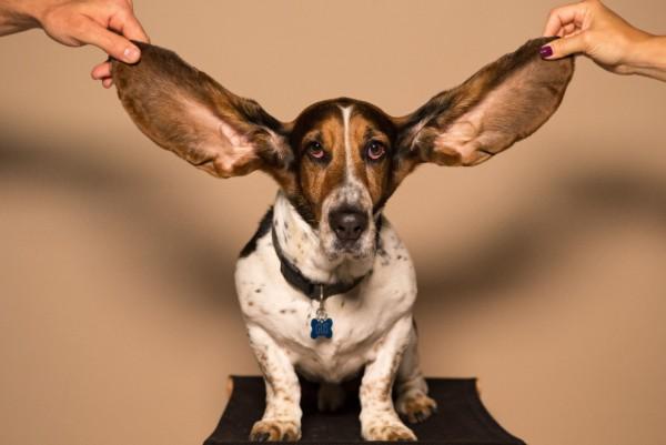 un cane ha gli orecchioni
