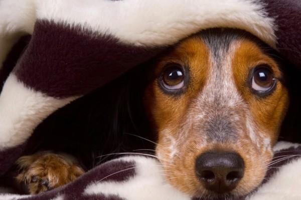 cucciolo tra le coperte