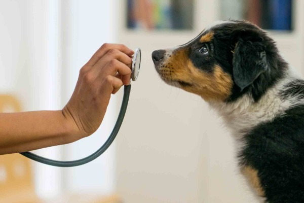 un cane viene visitato