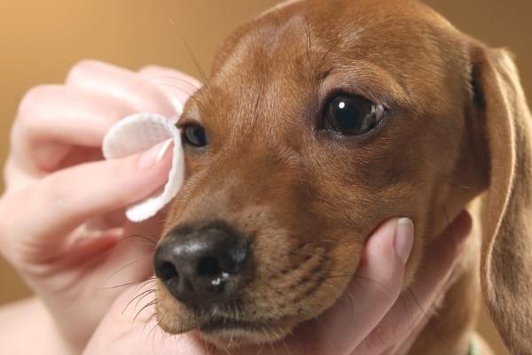 a un cane viene pulito un occhio