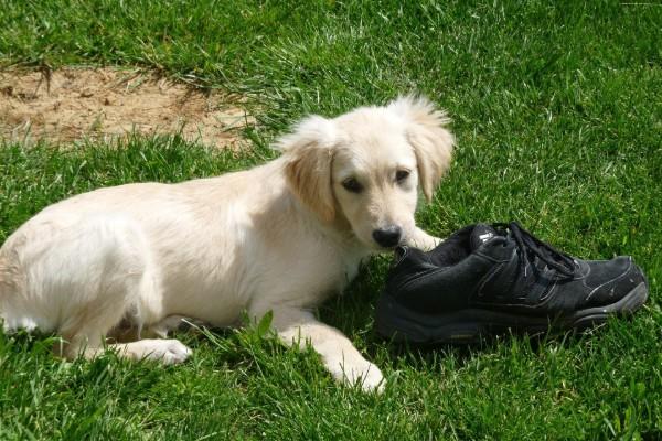 un cucciolo ruba una scarpa