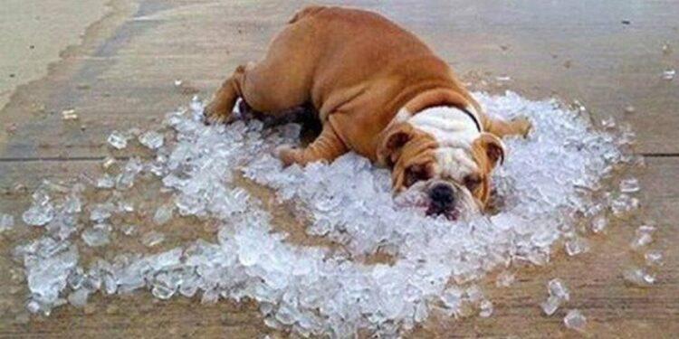 bulldog sdraiato su cubetti di ghiaccio