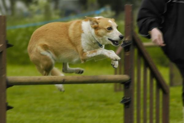 cane salta l'ostacolo al guinzaglio