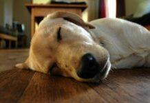 cane che dorme sul pavimento