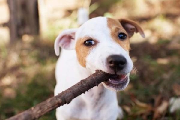 un cucciolo tira un legnetto