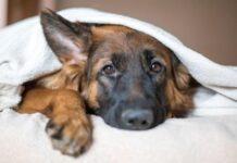 un cane sdraiato tra le coperte