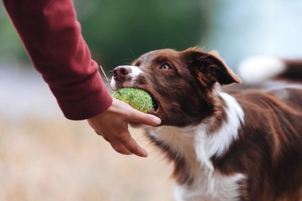 un cane lascia la palla sulla mano
