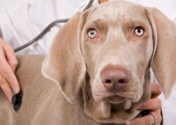 il veterinario controlla il respiro del cane