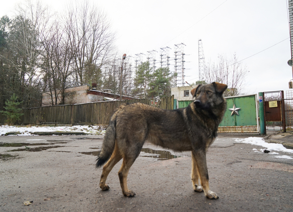cani-chernobyl