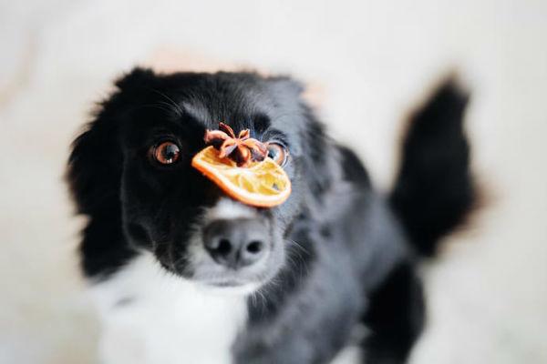Cani e arance: le possono mangiare?