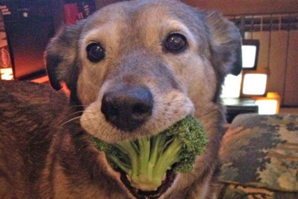 Cani e broccoli: possiamo metterli nella loro ciotola?