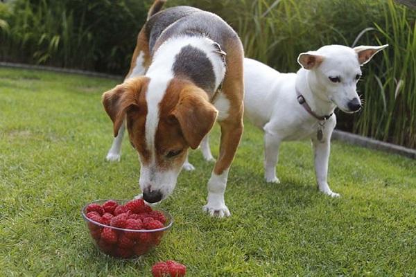 Cani e lamponi: benefici e vantaggi