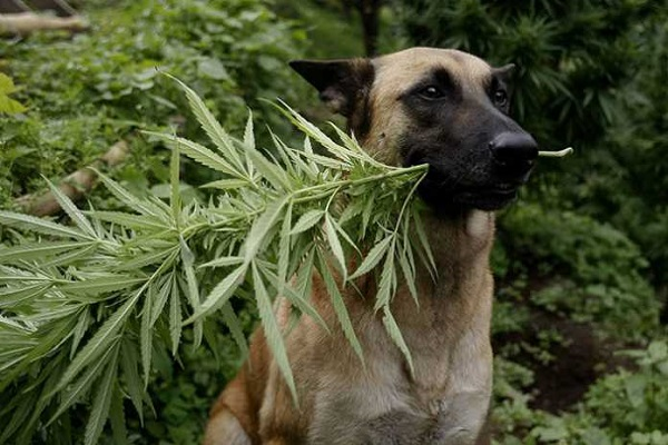 cane con cannabis