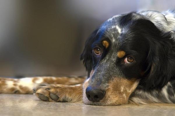 Cani e piastrine, cosa succede se la conta è troppo bassa